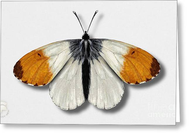 Antenna Drawings Greeting Cards - Orange Tip Butterfly - anthocharis cardamines naturalistic painting - Nettersheim Eifel Greeting Card by Urft Valley Art