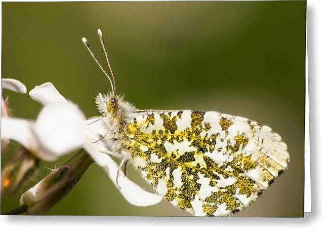 Butterlfy Greeting Cards - Orange Tip Butterfly Greeting Card by Keith Thorburn LRPS