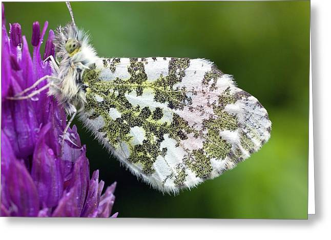 Orange Tip Greeting Card by Dr Jeremy Burgess