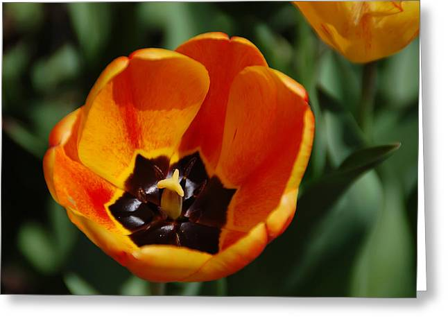Botany Greeting Cards - Orange Tulip Greeting Card by Aimee L Maher Photography and Art