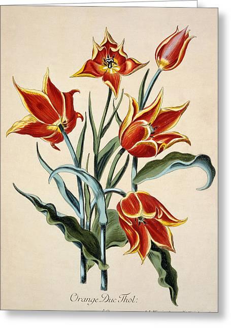 Tasteful Greeting Cards - Orange Tulip Greeting Card by Conrad Gesner