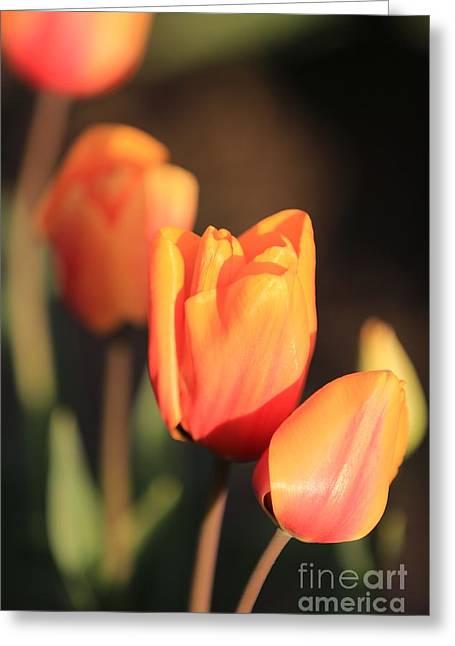 Carol Groenen Golden Greeting Cards - Orange Tulip Drama Greeting Card by Carol Groenen