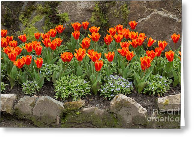Tulipa Greeting Cards - Orange tulips and Forget me nots in spring Greeting Card by Louise Heusinkveld