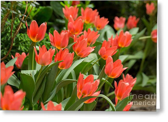Spring Bulbs Greeting Cards - Orange tulips in spring Greeting Card by Louise Heusinkveld