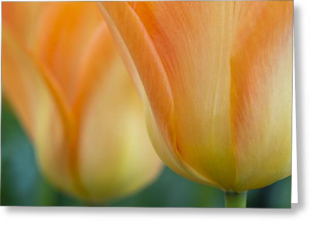Keukenhof Gardens Greeting Cards - Orange Twins Greeting Card by Eggers   Photography