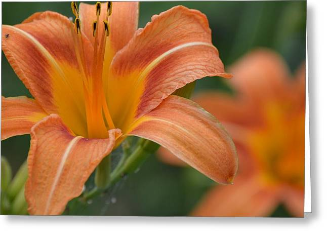 Wildflower Greeting Cards - Orange Wildflower Closeup Greeting Card by Kim Stafford