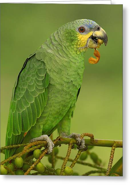 Amazon Parrot Greeting Cards - Orange-winged Parrot Amazonian Ecuador Greeting Card by Pete Oxford