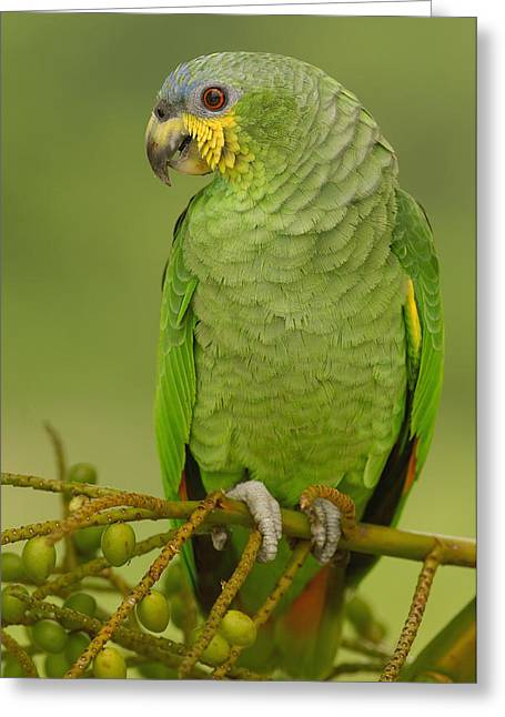 Amazon Parrot Greeting Cards - Orange-winged Parrot Ecuador Greeting Card by Pete Oxford