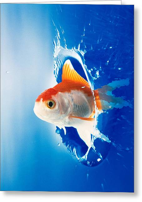 Flying Fish Greeting Cards - Orange, Yellow And White Fish Flying Greeting Card by Panoramic Images