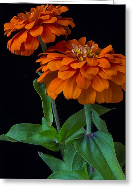 Zinnias Greeting Cards - Orange zinnia Greeting Card by Garry Gay