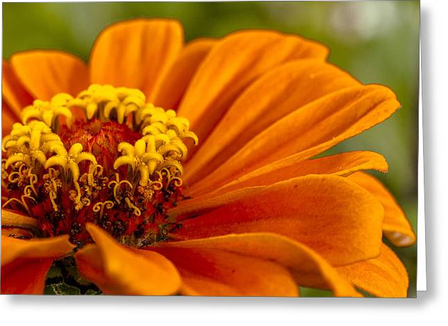 Delicate Bloom Greeting Cards - Orange Zinnia Greeting Card by Teri Virbickis