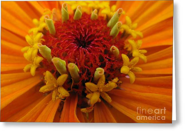 Pandute Digital Art Greeting Cards - Orange Zinnia. Up Close And Personal Greeting Card by Ausra Paulauskaite