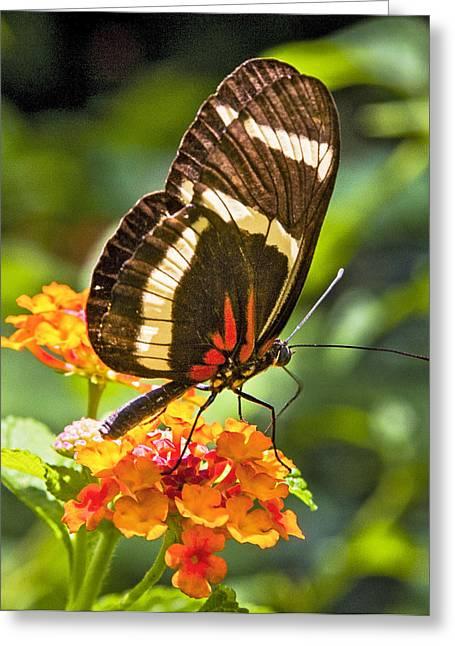 Vlinder Greeting Cards - Oranges Attract Greeting Card by Karen Stephenson