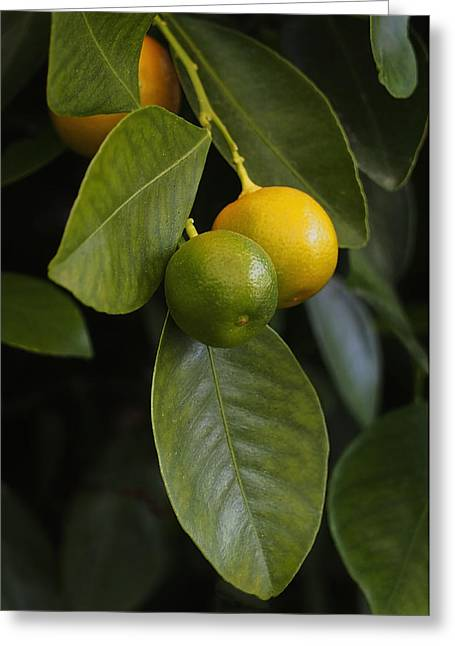Fruit Tree Art Greeting Cards - Oranges Ripening on the Tree Greeting Card by Rona Black