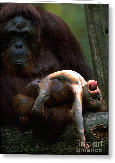 Family Love Greeting Cards - Orangutan And Young Greeting Card by Art Wolfe