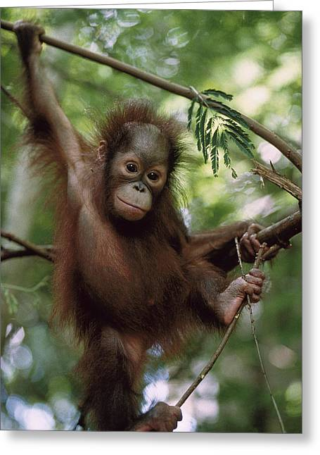 Orang-utans Greeting Cards - Orangutan Infant Hanging Borneo Greeting Card by Konrad Wothe
