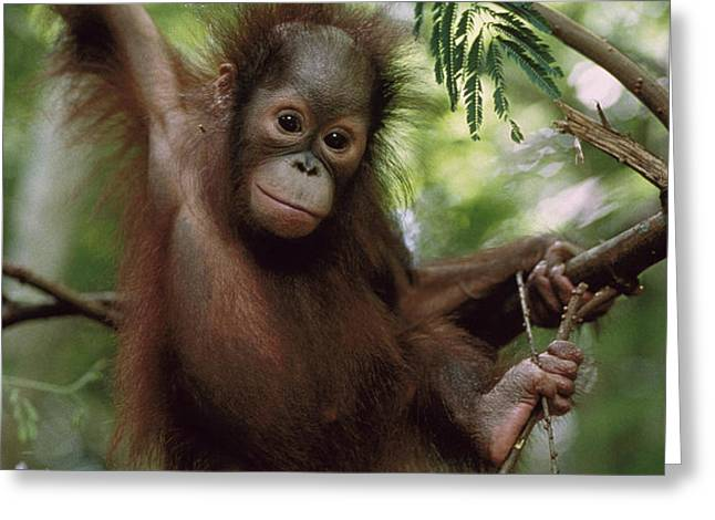 Orangutan Infant Hanging Borneo Greeting Card by Konrad Wothe