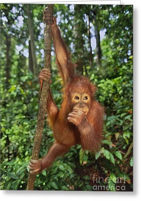 Orangutan  Greeting Card by Frans Lanting MINT Images