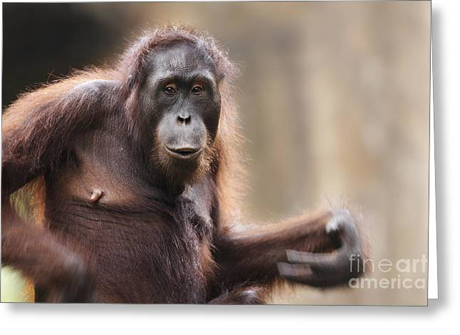 Orang-utans Greeting Cards - Orangutan Greeting Card by Richard Garvey-Williams