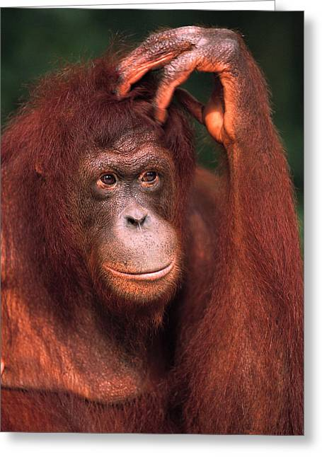 Ape. Great Ape Greeting Cards - Orangutan Scratching Head Greeting Card by Pete Oxford