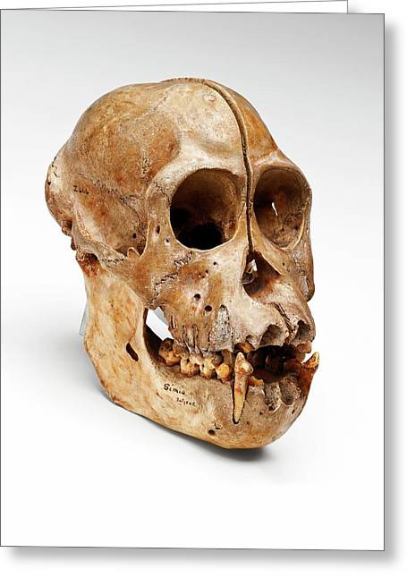Orangutan Skull Greeting Card by Ucl, Grant Museum Of Zoology