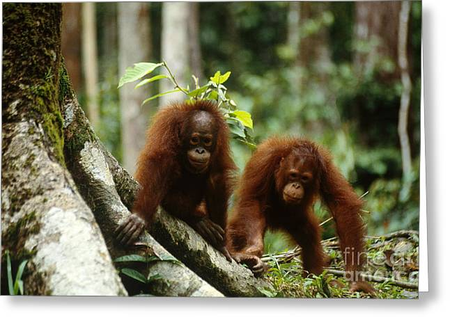 Ape Photographs Greeting Cards - Orangutans Greeting Card by Art Wolfe