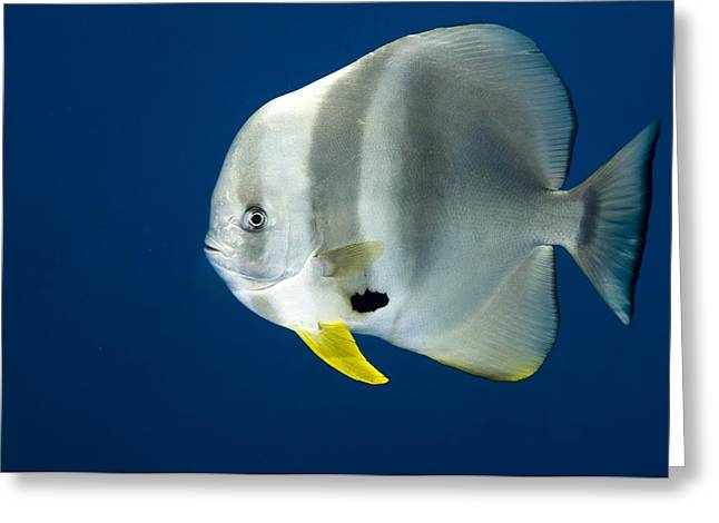 Spadefish Greeting Cards - Orbicular batfish Greeting Card by Science Photo Library