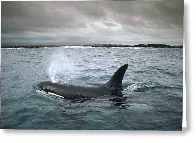 Atlantic Killer Whale Greeting Cards - Orca Galapagos Islands Greeting Card by Tui De Roy