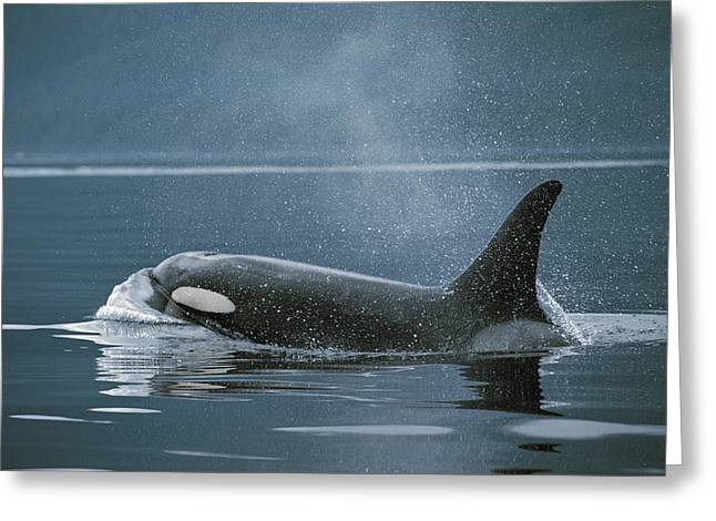 Atlantic Killer Whale Greeting Cards - Orca Johnstone Strait Greeting Card by Hiroya Minakuchi