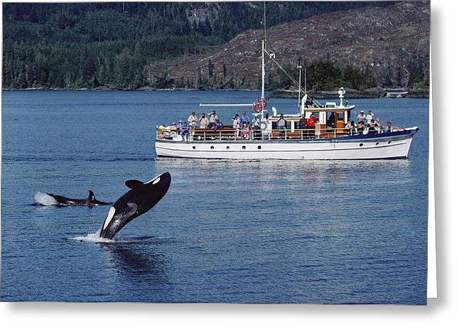 Atlantic Killer Whale Greeting Cards - Orca Leaping And Whale Watchers Greeting Card by Flip Nicklin