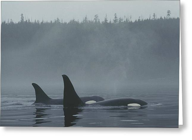 Atlantic Killer Whale Greeting Cards - Orca Male And Female Surfacing Canada Greeting Card by Hiroya Minakuchi