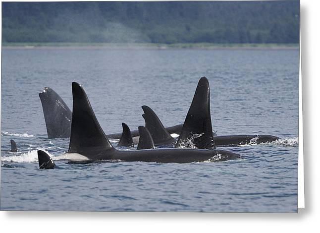 Orca Pod Surfacing Prince William Sound Greeting Card by Hiroya Minakuchi