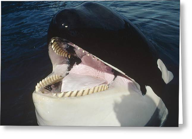 Botskop Greeting Cards - Orca Portrait North America Greeting Card by Flip Nicklin