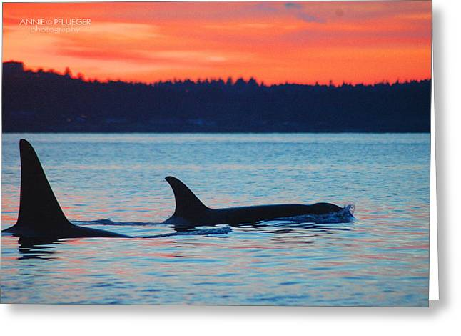 Annie Pflueger Greeting Cards - Orca Sunset Greeting Card by Annie Pflueger