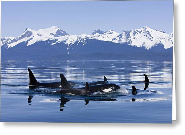Inside Passage Greeting Cards - Orca Surface In Lynn Canal Near Juneau Greeting Card by John Hyde