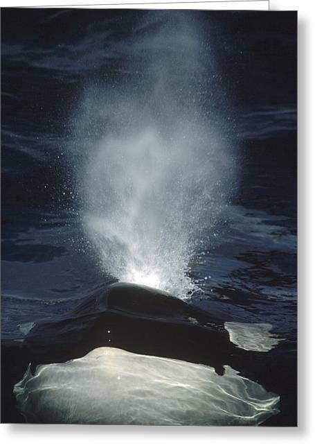 Botskop Greeting Cards - Orca Surfacing British Columbia Canada Greeting Card by Flip Nicklin
