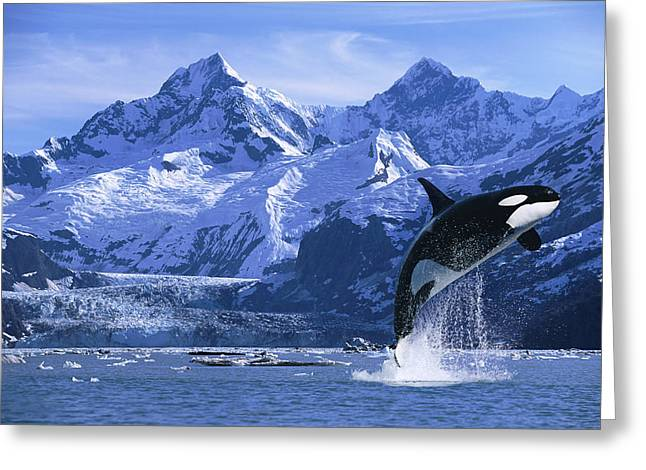 Breaching Greeting Cards - Orca Whale Breaching Glacier Bay Greeting Card by John Hyde