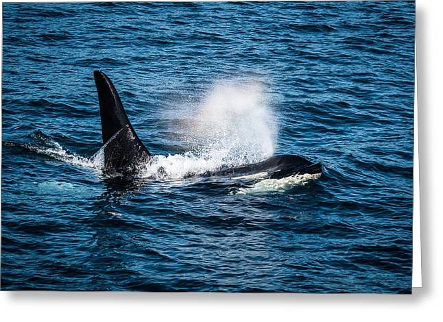 Washington State Greeting Cards - Orca Whale on the move Greeting Card by Puget  Exposure