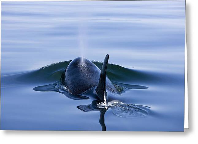 Orca Whale Surfaces In Lynn Canal Greeting Card by John Hyde