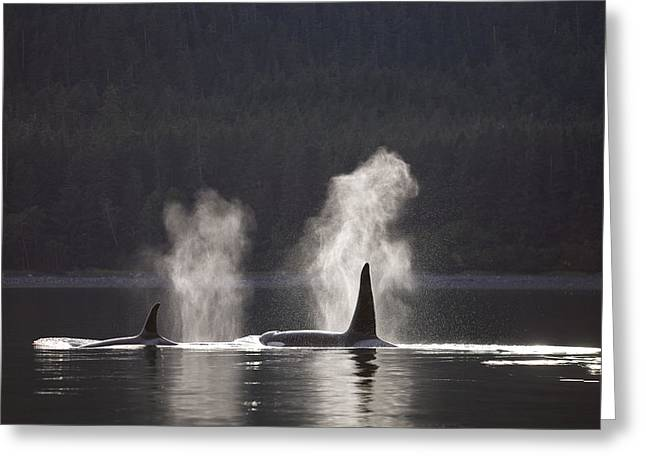 Southeast Alaska Greeting Cards - Orca Whales Surface Along A Forested Greeting Card by John Hyde