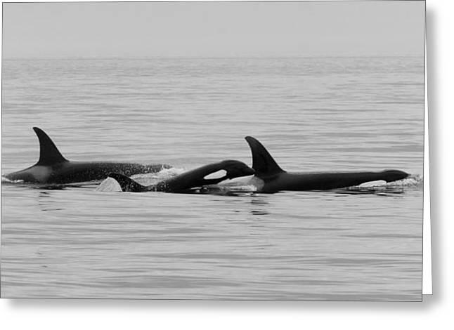 Haro Greeting Cards - Orcas Bw Greeting Card by Bob VonDrachek