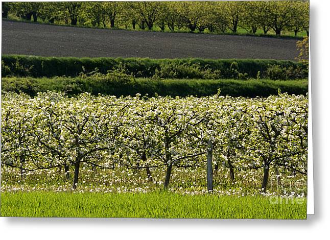 Growth Photographs Greeting Cards - Orchard blooming apple trees. Greeting Card by Bernard Jaubert