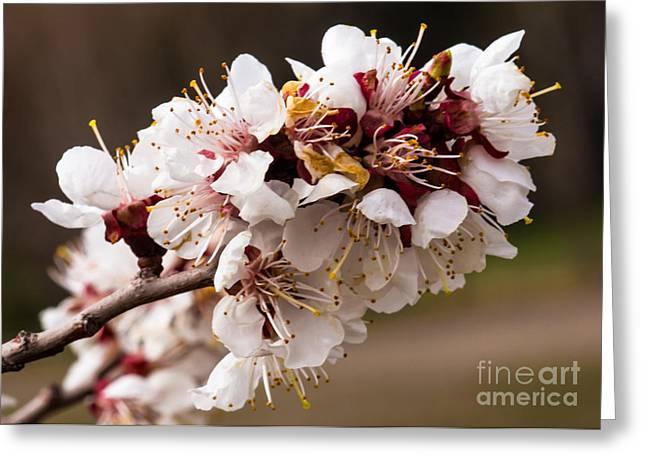 Prunus Persica Greeting Cards - Orchard Blooms Greeting Card by Robert Bales