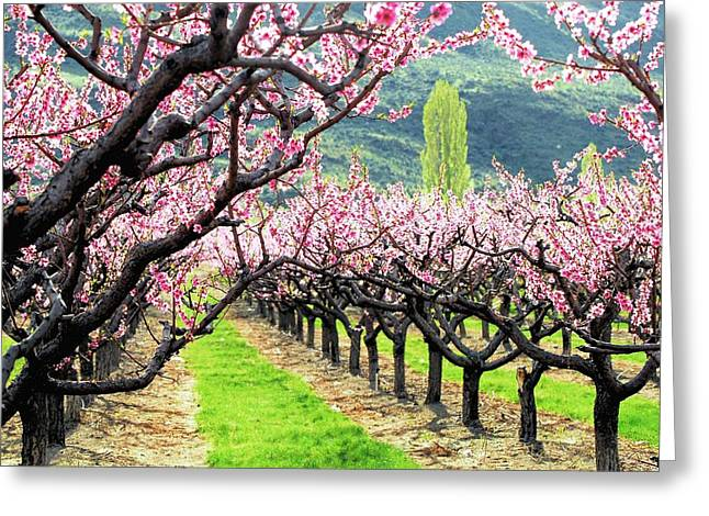Don Cherry Greeting Cards - Orchard in Blossom Greeting Card by Don Mann