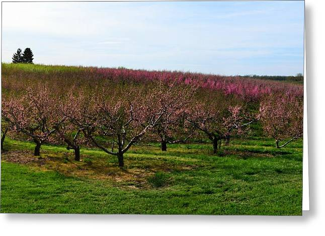 Fruiting Greeting Cards - Orchard in Spring ll Greeting Card by Michelle Calkins