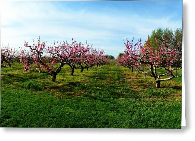Fruiting Greeting Cards - Orchard in Spring Greeting Card by Michelle Calkins