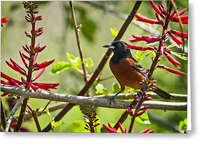 Wild Orchards Greeting Cards - Orchard Oriole Greeting Card by Bill Franklin