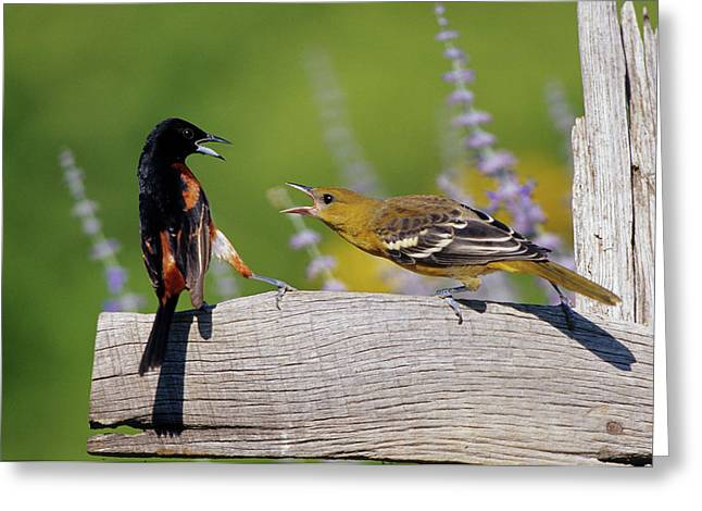 Orchard Oriole (icterus Spurius Greeting Card by Richard and Susan Day