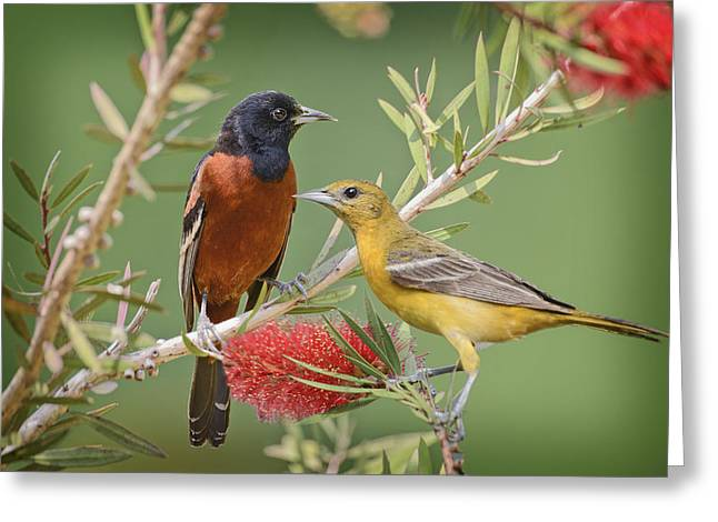 Orchard Oriole Pair Greeting Card by Bonnie Barry