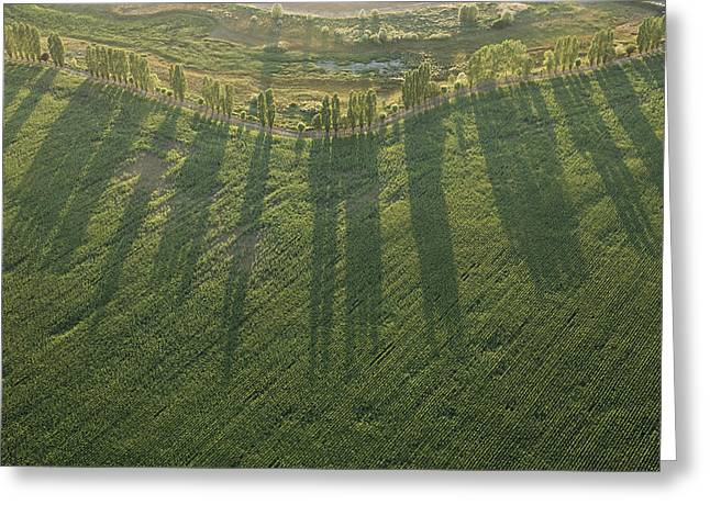 Agronomy Greeting Cards - Orchard Row Of Poplar, Archigny Greeting Card by Laurent Salomon